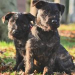 <p>West Highland terrier, Joey, mated with Rottweiler Zara shortly -the babies of the romance</p>