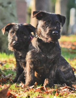 West Highland terrier, Joey, mated with Rottweiler Zara shortly -the babies of the romance