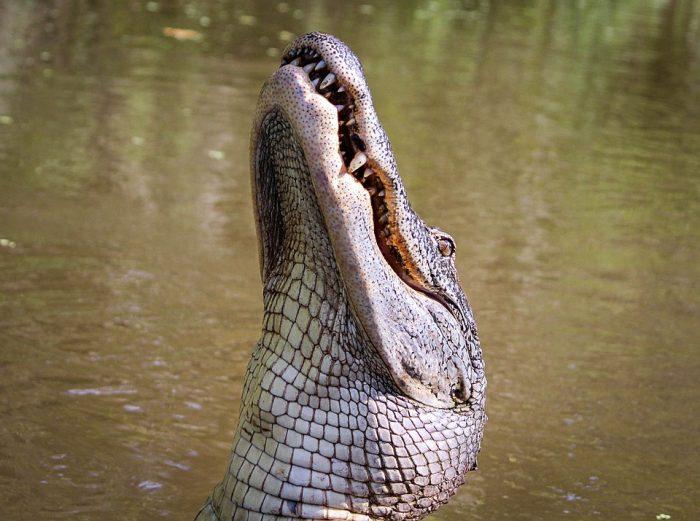 Alligator American Gator ·