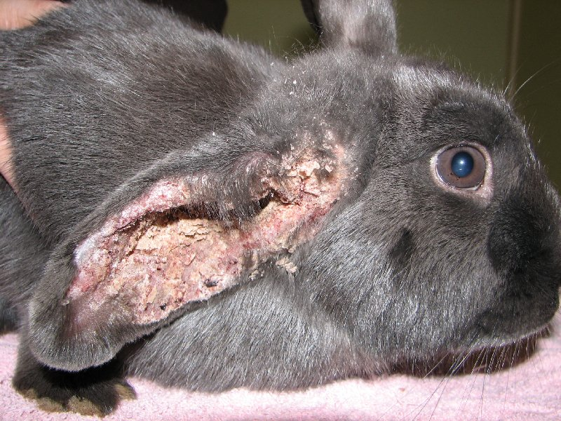 Cellulitis Rabbit