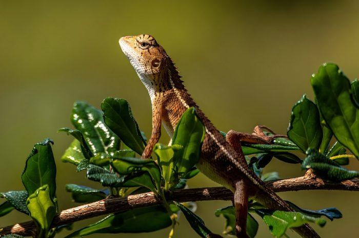 Chameleon Animal Lizard