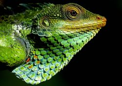 Chameleon Forest