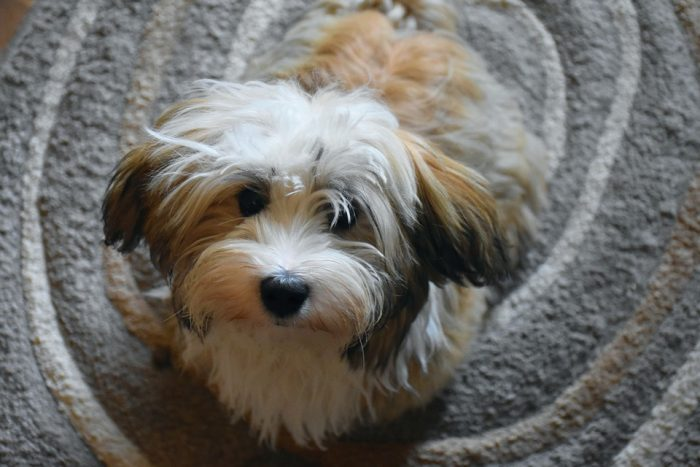 Havanese Dog Puppy Small
