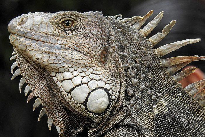 Iguana Portrait Profile Close