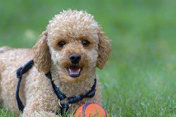 Poodle Dog Pet