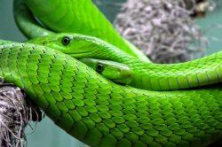 Snake Mamba Green