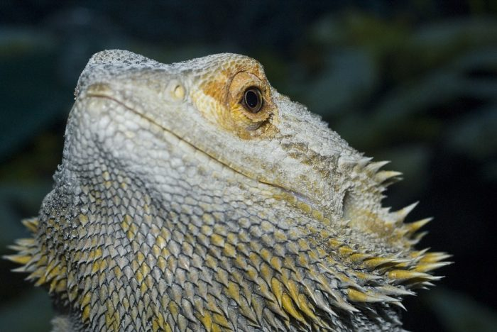 The Lizard Animal Gad ·