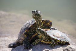 Turtle Reptile Tortoise ·