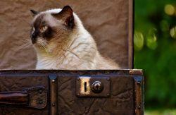 Cat British Shorthair Cute