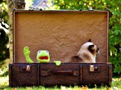 Kermit Cat British Shorthair