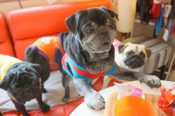 "Pug Cafe ""Living Room"" – Kyoto"