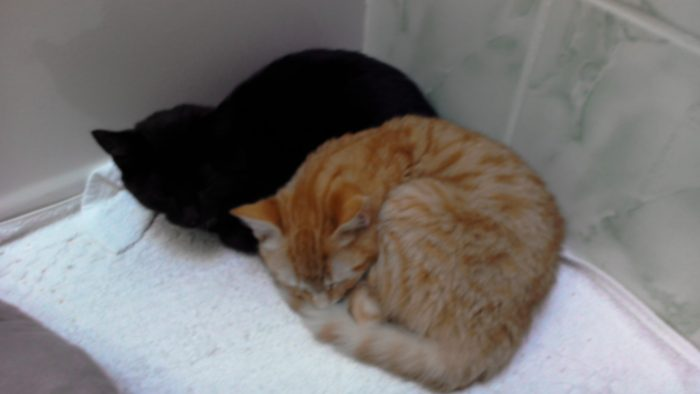Our new two cats named Coco and Mochi. Are 8 months old. One is a orange/golden tabby and the ot ...
