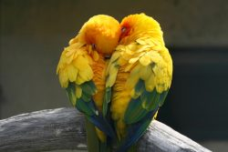 5 Facts About Lovebirds-By Digby Bodenham writing for ExoticDirect pet insurance – BuzzSha ...