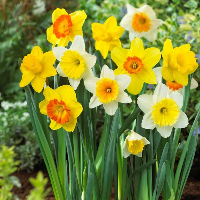 Daffodil – bad for dog