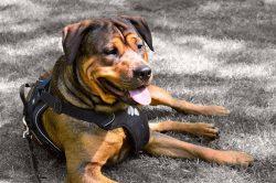 Rottweiler Amstaff Dog –