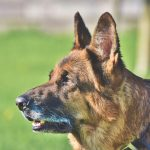<p>Schäfer Dog German Shepherd Old .</p>