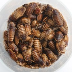Why Dubia Roaches Should Be on Your Bearded Dragon's Menu – BuzzSharer.com
