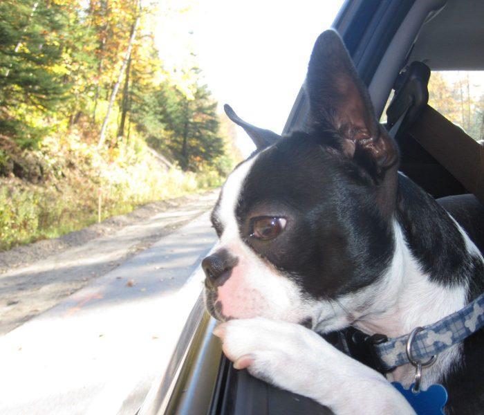 /boston-terrier-in-car.jpg –