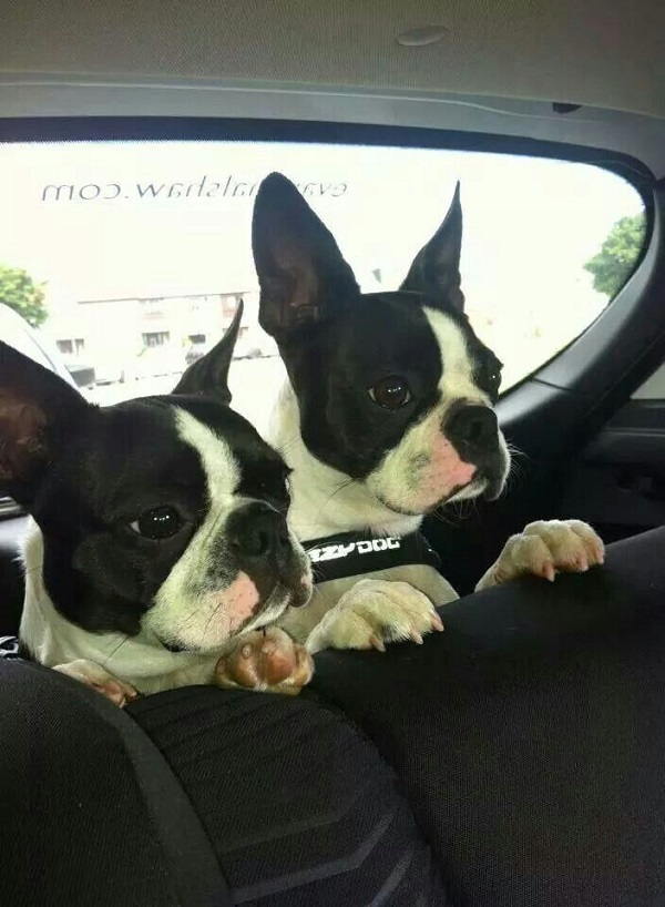 20 Reasons Boston Terriers Are Actually The Worst Dogs To Live With