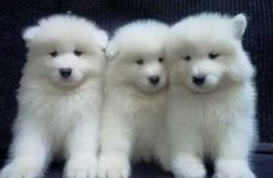 Samoyed – Google Search