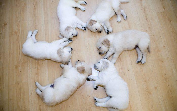 Puppies Wallpapers