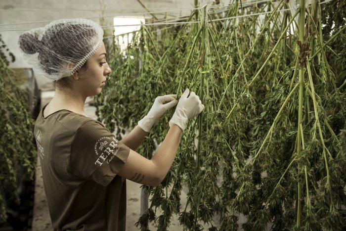 Cannabis Hemp Chanvre