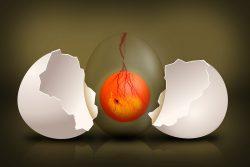 Embryo Chicks Egg –