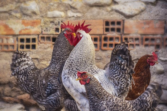 Hens Chicken Coop Poultry