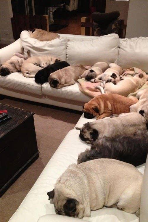 21 Beautifully Bodacious Pugs