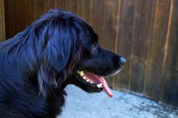 Dog Garden Pet -black golden retriever