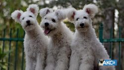 10 Hungarian Dog Breeds and their characteristics