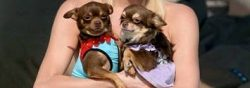16 Reasons Why Pugs Should Win Every Costume Contest Ever