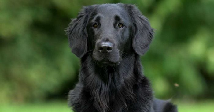 The Truth About Black Golden Retrievers