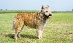 A variety of Belgian shepherds were bred in the area of the city of Antwerp in Flanders (Belgium ...