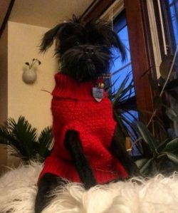 Since the Affenpinscher is a very rare breed of dog, its mating is fraught with some difficultie ...