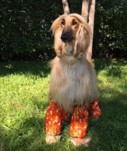 An Afghan Hound can have up to 15 puppies in one litter, but on average there are usually only e ...
