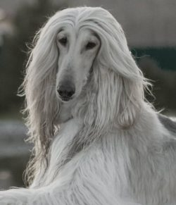The paw pads of Afghan hounds are incredibly large, which, despite their graceful appearance, al ...
