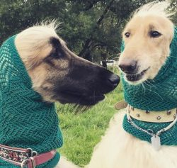 The oldest known image of an Afghan hound was copied in India and printed in England in 1813. So ...