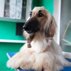 One of the most famous owners of the Afghan Hound was Pablo Picasso, who named his dog Kabul and ...