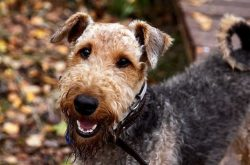 If you rely on violent methods to train the Airedale, you will not achieve results. Where anothe ...