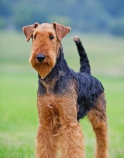 Airedale Terriers were loved by American presidents. Woodrow Wilson considered Airedale DavyR ...