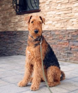 Among all terriers, the Airedale is the largest. The height at the withers in these dogs reaches ...