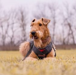 Trimming is a necessary procedure when caring for an Airedale. This is a special type of hair ca ...