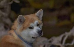 Before choosing an Akita puppy, there is always a choice of a breeder: it is good if you have fe ...