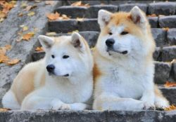 Akita Inu and Shiba Inu are often compared to cats because of their pathological craving for cle ...