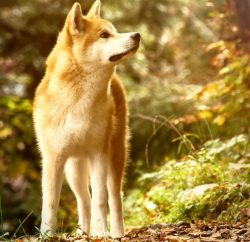 The valiant breed of Akita Inu was brought to America by Helen Keller. The Japanese, in tribute  ...