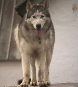Alaskan Husky unusually beautiful dogs with different eye colors: dark brown, sky blue, brown wi ...