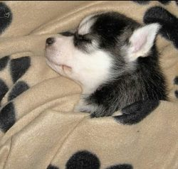 The coat length of the Alaskan Husky can be either short or slightly longer. The color of the co ...
