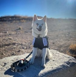Pure white Klee Kai can be officially registered, but they may not be allowed to breed and parti ...