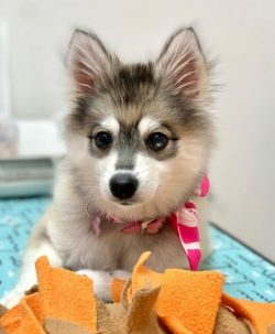 These are unique pets with a special charm. The main characteristic of the Alaskan Klee-Kai bree ...